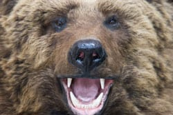 Close-up for enraged brown bear