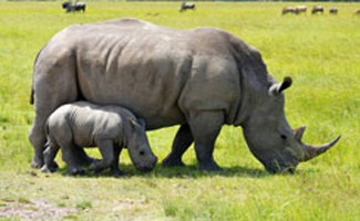 Baby rino with mom in Kruger Park