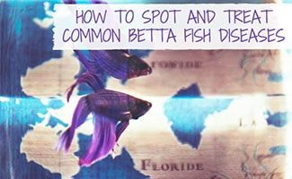 Betta fish swimming (caption: How To Spot And Treat Common Betta Fish Diseases)