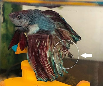 Betta Fish with Fin Rot And Tail Rot