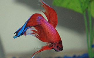 Red betta fish in tank