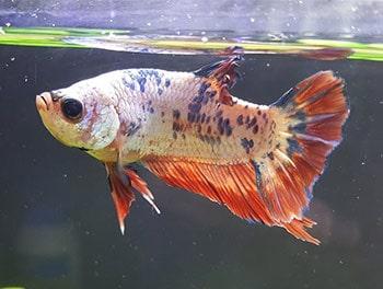 Betta fish with Popeye