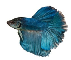 Large Betta Splendens (Siamese Fighting Fish)