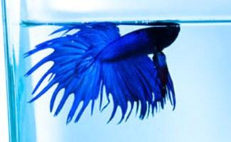 Bluel beta fish swimming in tank