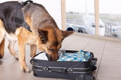 Bomb sniffing dog at airport