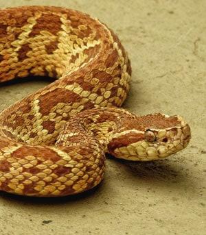 Jararacussu snake