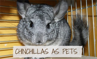 Chinchilla in cage: Chinchilla Facts