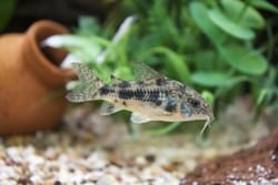 Corydora pepper fish