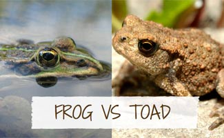 Toad vs frog: Difference Between Frogs and Toads
