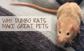 Rat on bed: Dumbo Rats as Pets