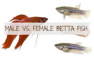 1 male and 3 female betta fish: The Female Betta Fish