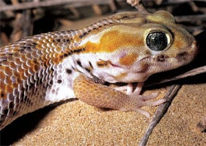 Frog Eyed Gecko on ground