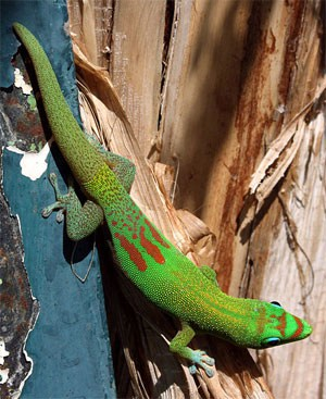 Giant Day Gecko on branch