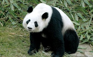 Giant panda sitting in grass