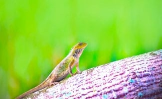 Green anole on branch