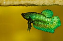 How To Spot And Treat Common Betta Fish Diseases | Earth's