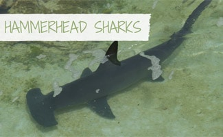 Hammerhead Shark swimming in water: Hammerhead Sharks