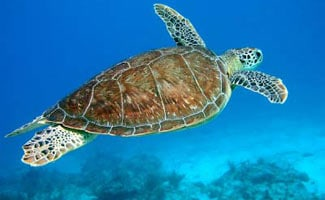 Hawksill sea turtle swimming