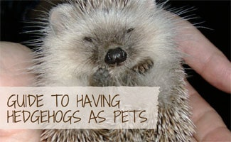 Hedgehog in hands: Guide to having Hedgehogs as Pets