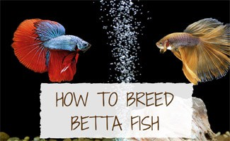 2 Betta fish in tank with bubbles: How to Breed Betta Fish