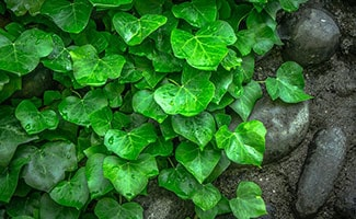 Ivy on wall with rocks