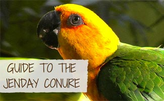 Jenday Conure up close