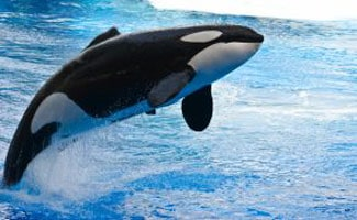 Jumping killer whale