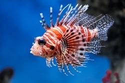 Mombasae lionfish