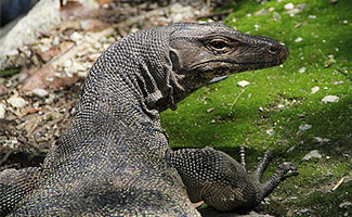 Monitor Lizard on the grass