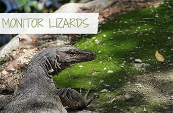 Monitor Lizard (caption: Monitor Lizards)