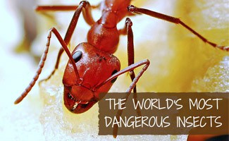 Ant: World's Most Dangerous Insects