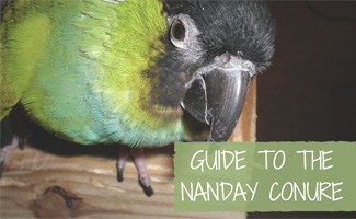 Guide to the Nanday Conure Bird