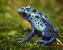Poison dart frog sitting on moss