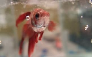 Red beta fish swimming