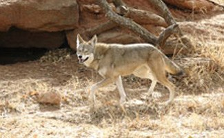 Red wolf in field