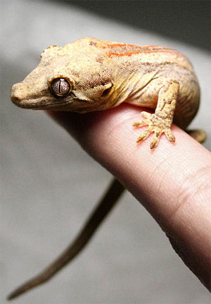 Gargoyle Gecko on person's finger
