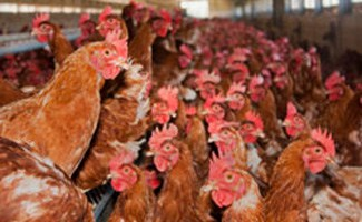 Roosters in a factory farm