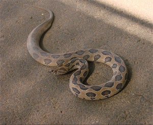 Russell's Viper snake