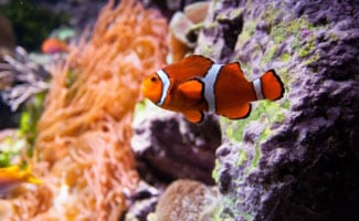 Saltwater aquarium with orange fish