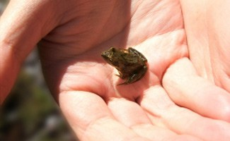 Small frog in hand