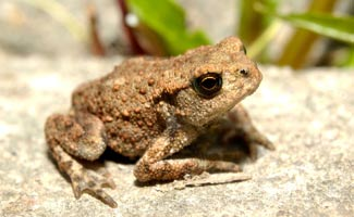 Toad on rock