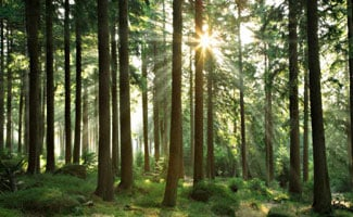 Spruce trees in forest