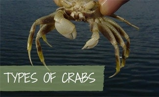 Person holding crab: Types of Crabs