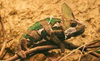 Veiled chameleon on ground
