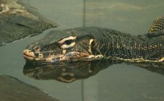 Water monitor lizard in water