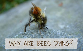 Fallen bee on rock: Why Are Bees Dying?