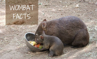 Wombat and baby eating: Wombat Facts