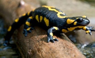 Yellow salamander on log
