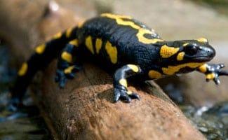 Yellow salamander on log