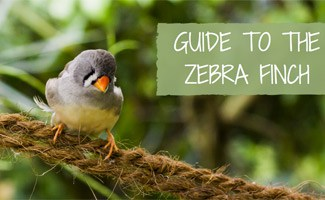 Zebra finch on branch: The Zebra Finch: Preferred First Time Pet Bird